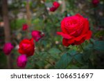 Bush Of Red Roses