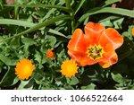 flowerbed near the house. | Shutterstock . vector #1066522664
