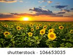 field of blooming sunflowers on ... | Shutterstock . vector #106653035