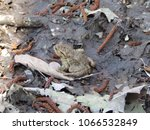 the common toad   european toad | Shutterstock . vector #1066532849