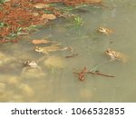 the common toad   european toad | Shutterstock . vector #1066532855