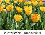 lots of yellow tulips. | Shutterstock . vector #1066534001