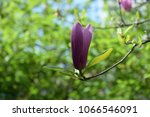 the tulip tree. flower. | Shutterstock . vector #1066546091