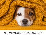 Stock photo portrait of a cute young small dog looking at the camera with a yellow scarf covering him white 1066562837