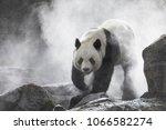 giant panda in the fog   Shutterstock . vector #1066582274