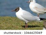 black headed gulls ... | Shutterstock . vector #1066625069