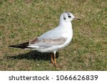 black headed gull ... | Shutterstock . vector #1066626839