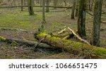 Mossy Fallen Tree Trunk On The...