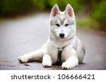 Siberian Husky Puppy In Harness