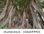 Large Moreton Bay Fig tree (Ficus macrophylla) in the middle of a city park with extensive root system to recreate tropical jungle feeling in an urban setting.