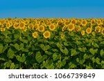 yellow sunflowers on the... | Shutterstock . vector #1066739849
