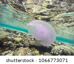 observation of jellyfish during ... | Shutterstock . vector #1066773071