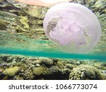 observation of jellyfish during ... | Shutterstock . vector #1066773074