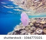 observation of jellyfish during ... | Shutterstock . vector #1066773101
