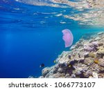 observation of jellyfish during ... | Shutterstock . vector #1066773107