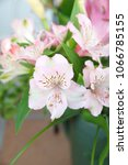 Small photo of Peruvian lily, Alstroemeria, lily of the Incas with light pink flowers