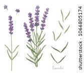 vector set of lavender flowers...   Shutterstock .eps vector #1066805174
