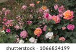 Stock photo blooming beautiful colorful roses in the garden background 1066834199