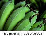 unripe green banana cultivar... | Shutterstock . vector #1066935035