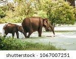 mother and baby elephants go... | Shutterstock . vector #1067007251
