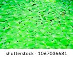 aquatic plant live in the water ...   Shutterstock . vector #1067036681