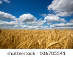 Gold Field Of Wheat Against...