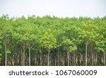 rubber tree in the field   Shutterstock . vector #1067060009