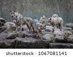grey wolf animal | Shutterstock . vector #1067081141