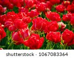 close up of flowers blooming... | Shutterstock . vector #1067083364