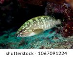 epinephelus marginatus  the... | Shutterstock . vector #1067091224