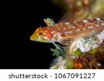 The black-faced blenny (Tripterygion delaisi) is a small benthic fish from the family Tripterygiidae (triplefin-blennies).