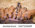 piglets suckling on mother  | Shutterstock . vector #1067100689