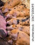 piglets suckling on mother  | Shutterstock . vector #1067100695