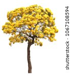 Isolated Tabebuia Golden Yellow ...