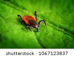 Red tick scrabbling on a green...