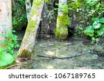 Small photo of The moss-ridden tree stands in crystal clear water. Plitvice National park, Croatia.