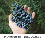 Hand Holds Bunch Of Blue Grapes