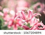 Pink Lily Flower. Beautiful...