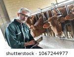 cow breeder checking on... | Shutterstock . vector #1067244977