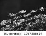 nice camennille flowers... | Shutterstock . vector #1067308619