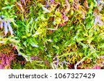 Small photo of Moss Dicranum polisetum, grown on the trunk of a tree.