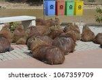 capybaras on the street   Shutterstock . vector #1067359709