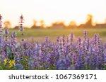 lavender flower beautiful in... | Shutterstock . vector #1067369171
