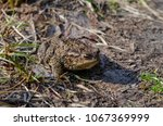 toad during the breeding season ... | Shutterstock . vector #1067369999