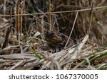 toad during the breeding season ... | Shutterstock . vector #1067370005