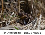 toad during the breeding season ... | Shutterstock . vector #1067370011