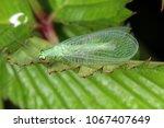 green lacewing  chrysopa perla  ... | Shutterstock . vector #1067407649