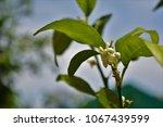 Small photo of Jaffa orange blossom