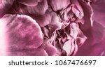 blooming peony closeup   Shutterstock . vector #1067476697