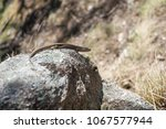closeup of little lizard on...   Shutterstock . vector #1067577944